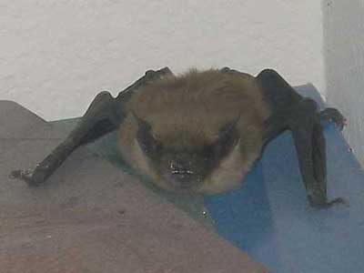 black hat bat